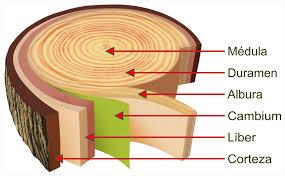 Explicación de las partes internas de un tronco de madera